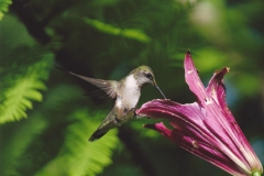 Dan McKinnon  Hummingbird on Weary Lily