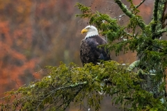 Gaye hott EAGLE IN THE FALL! OVER THE JORDEN RIVER!