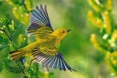Johh E Doskoch  Warblers Flight