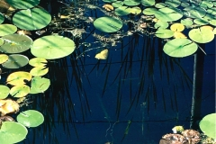 hilary buell lily pads cropped