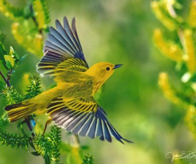 Warblers Flight by Johh E Doskoch